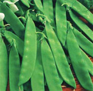 Snow Pea, Oregon Giant